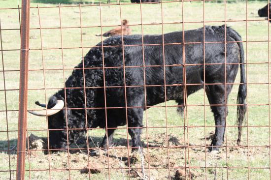 De retour au campo, Toro de los BAYONES gracié à CHATEAURENARD