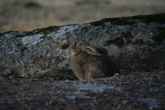un lapin parmis des centaines au milieu des toros